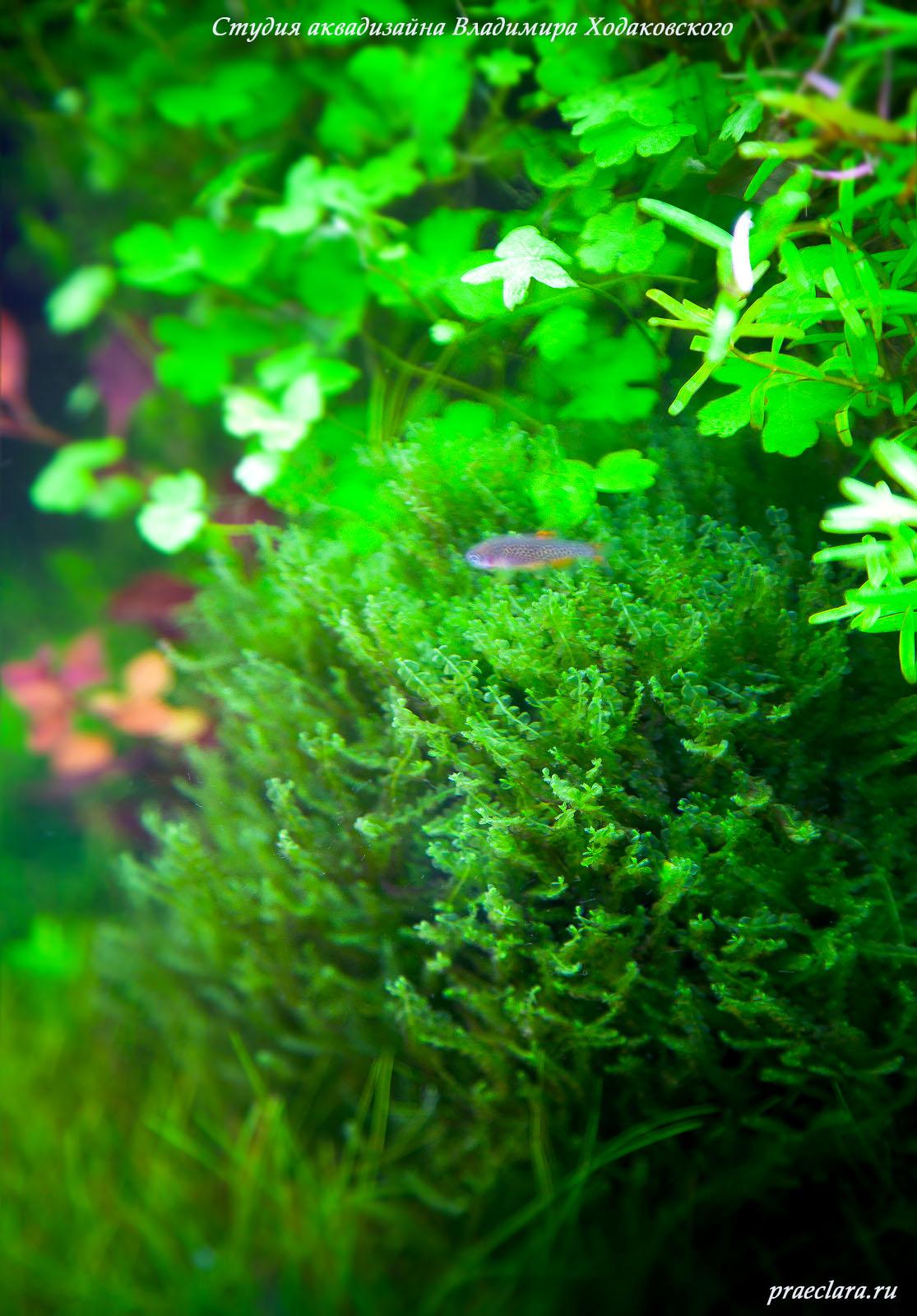 Blepharostoma-trichophyllum - Pearl-moss