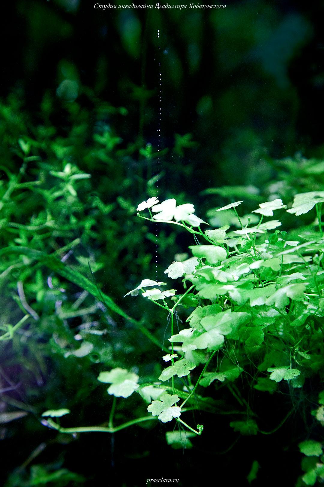 Гидрокотила трипартита (Hydrocotyle tripartita)