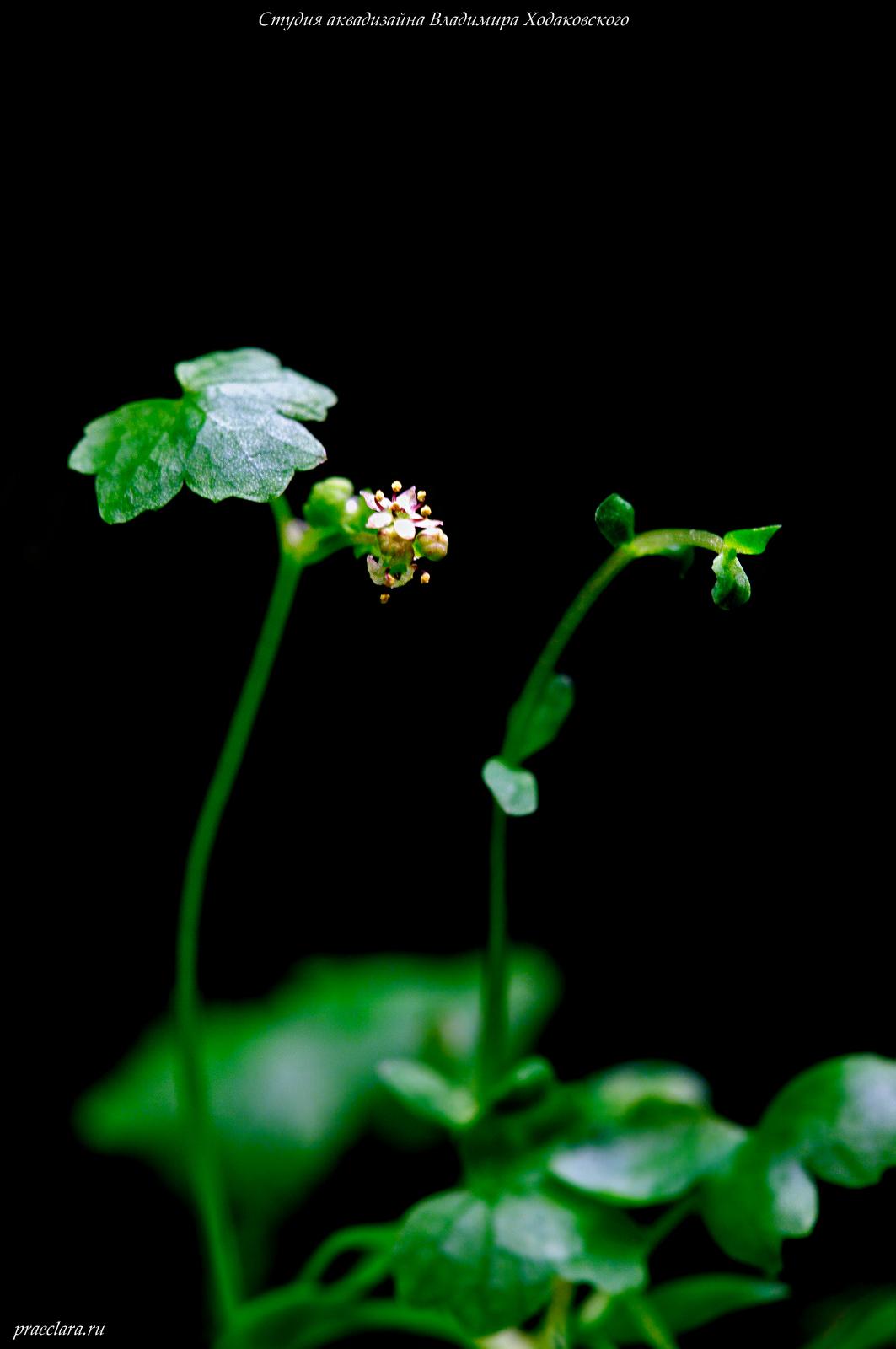 Гидрокотила трипартита (Hydrocotyle tripartita), цветок