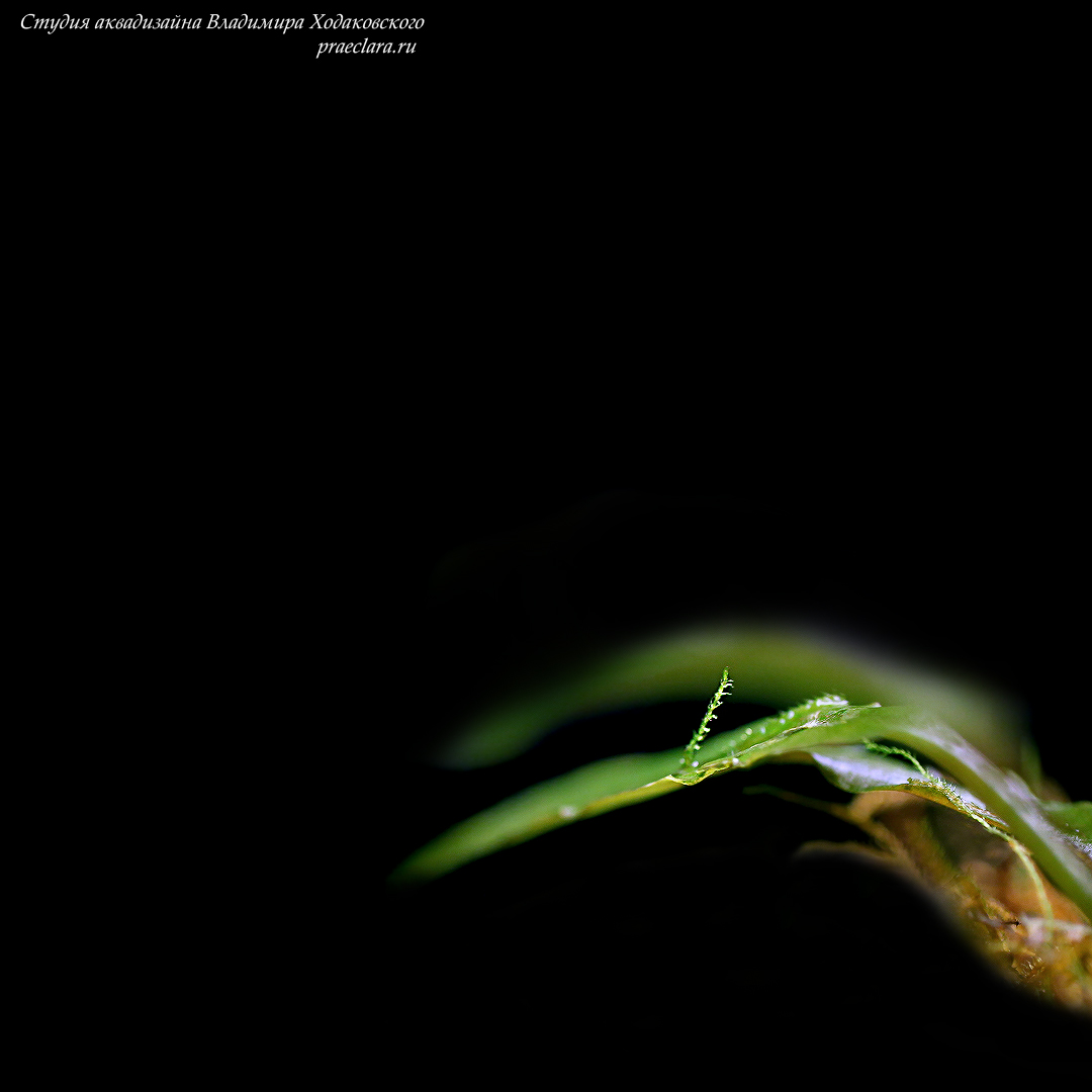 Taxiphyllum sp. – Flame Moss & Криптокарина сп. (Cryptocoryne sp.)