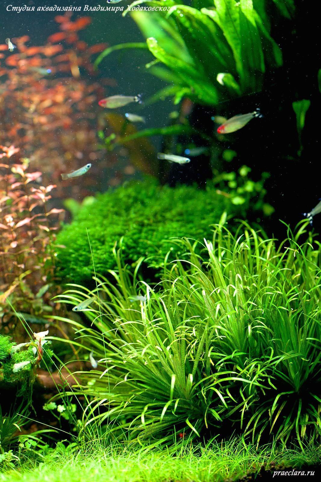 Бликса японская (Blyxa japonica)