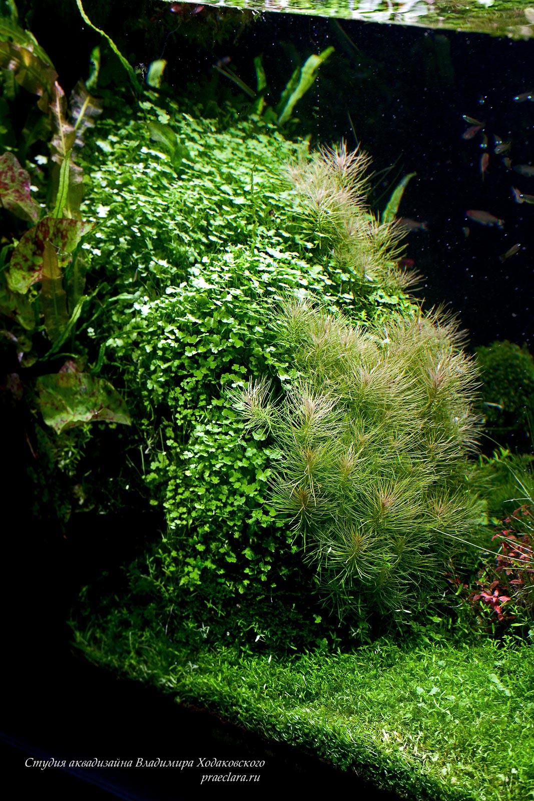 Hydrocotyle tripartita & Pogostemon deccanensis