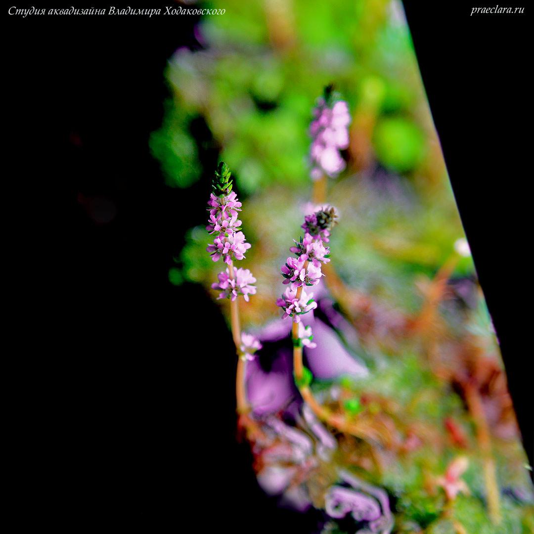 Ротала Валиха (Rotala wallichii), цветок