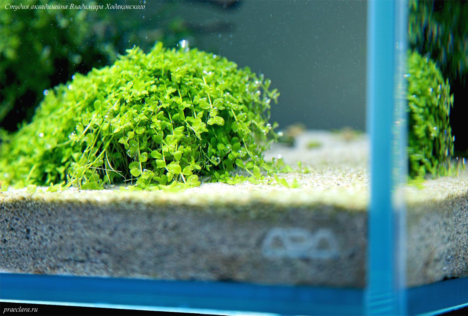 Микрантемум «Монте Карло» (Micranthemum  tweediei 'Monte Carlo')