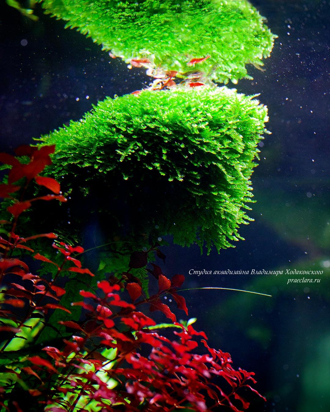 Vesicularia montagnei – Christmas moss & Людвигия супер ред (Ludwigia palustris super red)