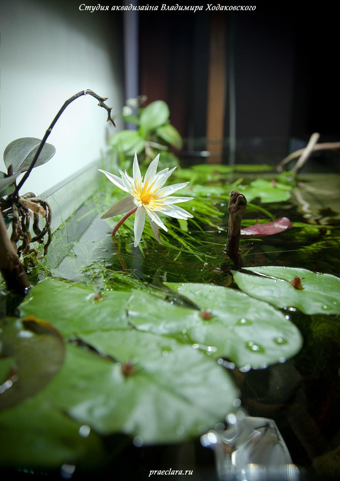Нимфея микранта (Nymphaea micrantha), цветок