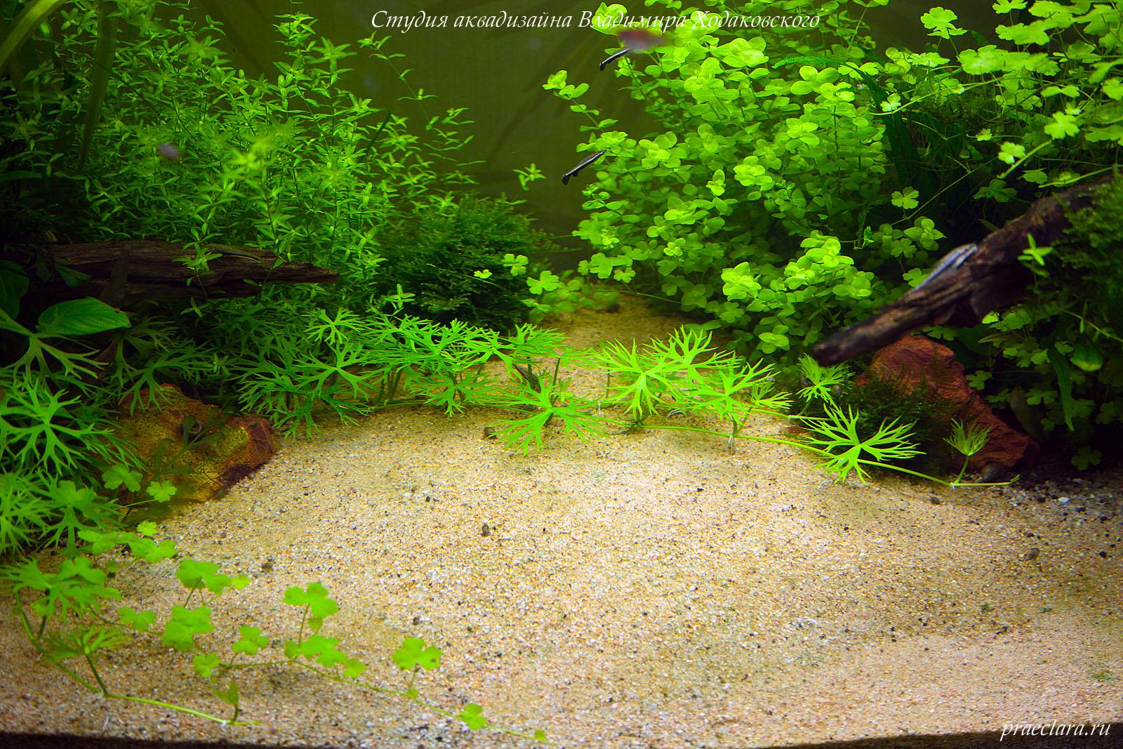 Лютик речной (Ranunculus inundatus) в центре, фрагмент аквариума