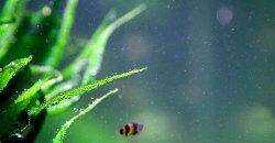 Тайландский папоротник (Microsorum pteropus)