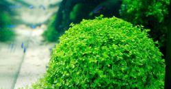 Микрантемум «Монте Карло» (Micranthemum sp. 'Monte Carlo')