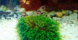 Fissidens fontanus — Phoenix moss