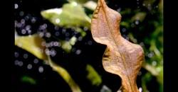 Апоногетон живородящий (Aponogeton undulatus)