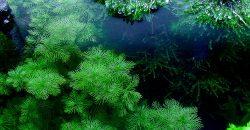 Перистолистник матогросский (Miriophyllum mattogrossensis)
