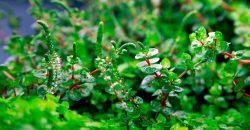 Ротала макрандра зелёная (Rotala macrandra «Green»), emersed form