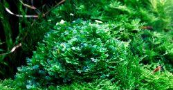 Lomariopsis lineata