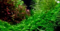 Vesicularia montagnei – Christmas moss