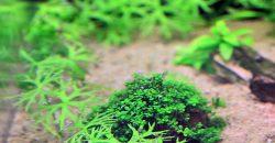 "Лютик речной (Ranunculus inundatus) & Хемиантус Куба (Hemianthus callitrichoides ""Cuba"")"