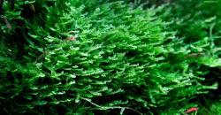 Pearl moss - Blepharostoma trichophyllum