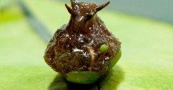 Нимфея микранта (Nymphaea micrantha)
