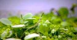 Лимнобиума побегоносного (Limnobium stoloniferum), цветок Ротала макрандра зелёная узколистная (Rotala macrandra «Narrow Leaf»)