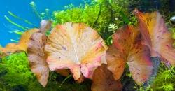 Нимфея тигровая красная (Nymphaea lotus)