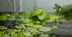 Лимнобиум побегоносный (Limnobium stoloniferum)