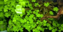 Щитолистник трехраздельный (Hydrocotile tripartita)