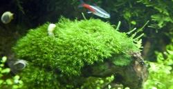 Феникс мох (Fissidens fontanus)