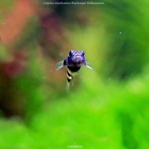 Бычок пчёлка (Brachygobius xanthozona)