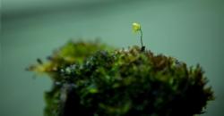 Utricularia - плотоядное растение, в травнике, из-за бурного роста это растение скорее сорняк, однако цветёт красиво. Цветок пузырчатки похож на Львиный зев, только в миниатюре.