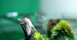На фото бутон цветка Пузырчатки (Utricularia). Растение по коряге
