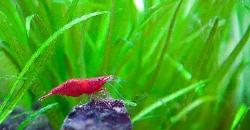 Фрагмент оформления аквариума, креветка вишня, форма Red Fire.