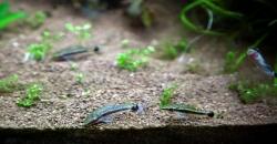 Фрагмент оформления аквариума, отоцинклюсы