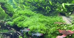 Vesicularia montagnei — Christmas moss на коряге, без крепления