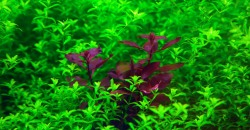 Людвигия супер ред (Ludwigia palustris super red)