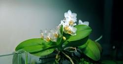 Орхидеи полгода в аквариуме. Второе цветение.