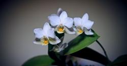 Орхидеи в аквариуме через 9 месяцев. Третье цветение.