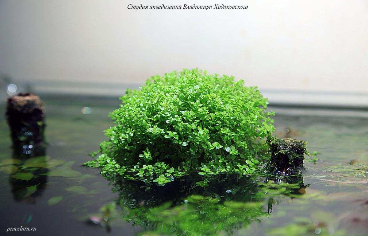 Микрантемум малоцветковый (Micranthemum micranthemoides), эмерсная форма