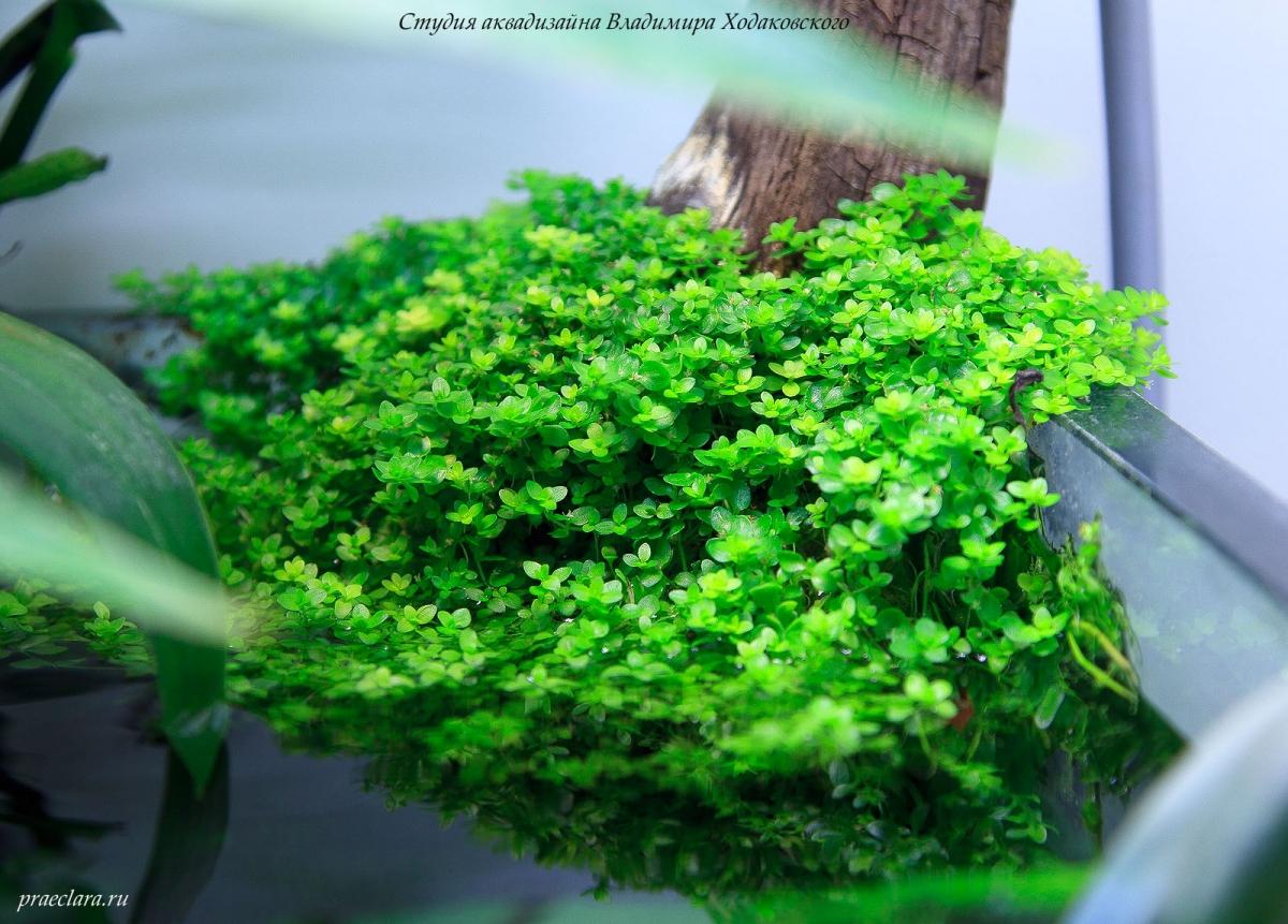"""Микрантемум малоцветковый (Micranthemum micranthemoides) более крупный план, эмерсная форма, фрагмент аквариума \""""Покров Изиды\"""" 650л"""
