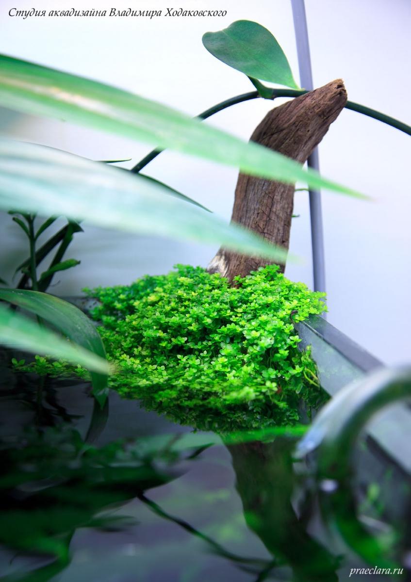 """Микрантемум малоцветковый (Micranthemum micranthemoides) в углу аквариума, эмерсная форма, фрагмент аквариума \""""Покров Изиды\"""" 650л"""