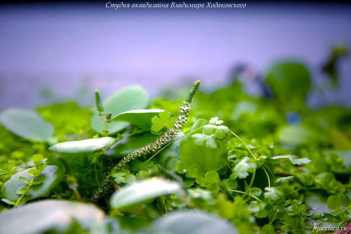 Лимнобиум побегоносный (Limnobium stoloniferum) и цветок Ротала макрандра зелёная узколистная (Rotala macrandra «Narrow Leaf»)