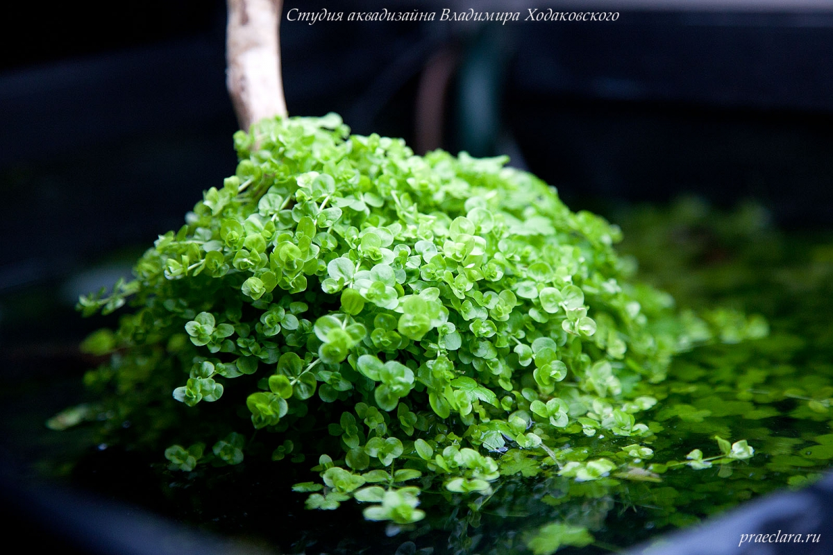 Микрантемум тенистый (Micranthemum umbrosum), эмерсная форма,