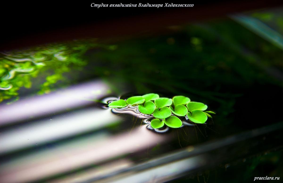 Сальвиния клобучковая (Salvinia cucullata). Плавающие растения можно наблюдать только в открытых аквариумах