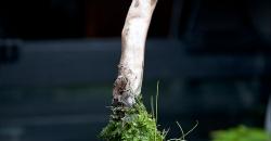 Элеохарис и мох кристмасс на коряге выходящей на поверхность в аквариуме