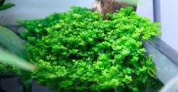 """Микрантемум малоцветковый (Micranthemum micranthemoides) более крупный план, эмерсная форма, фрагмент аквариума """"Покров Изиды"""" 650л"""