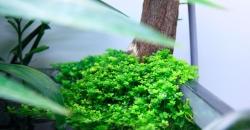 """Микрантемум малоцветковый (Micranthemum micranthemoides) в углу аквариума, эмерсная форма, фрагмент аквариума """"Покров Изиды"""" 650л"""