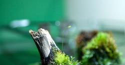 На фото бутон цветка Пузырчатки (Utricularia). Utricularia - плотоядное растение, в травнике, из-за бурного роста это растение скорее сорняк, однако цветёт красиво. Цветок пузырчатки похож на Львиный зев, только в миниатюре.