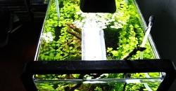 Сальвиния плавающая (Salvinia natans). Аквариум 17л, вид сверху.