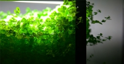 Микрантемум тенистый (Micranthemum umbrosum) вышел из аквариума на сушу