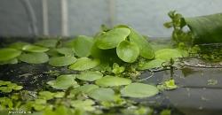 Лимнобиум побегоносный (Limnobium stoloniferum) - плавающее на поверхности растение