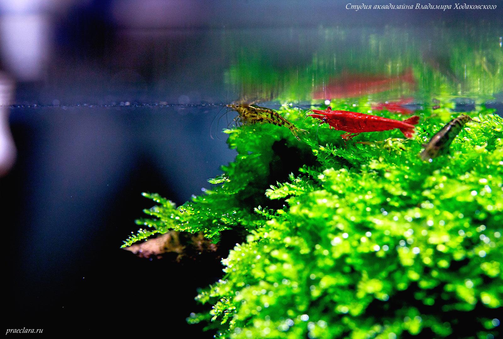 Креветки в пресноводном аквариуме